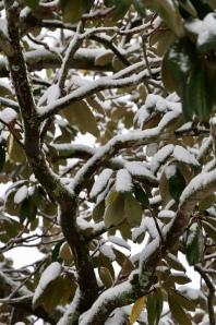The magnolia tree.