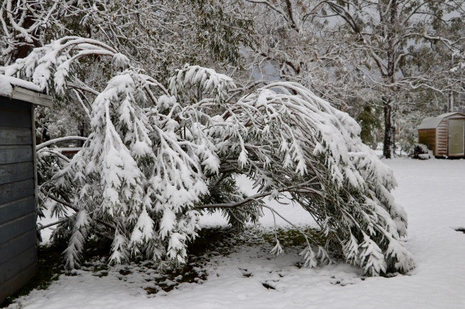The oleander didn't much care for the snow.